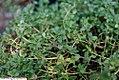 Thymus Doone Valley 1zz.jpg