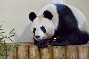 Edinburgh Zoo - Tian Tian, the female giant panda, who came to the zoo with her male companion in late 2011
