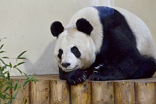 Tian Tian, the female giant panda, who came to the zoo with her male companion in late 2011