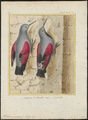 Tichodroma muraria - - Print - Iconographia Zoologica - Special Collections University of Amsterdam - UBA01 IZ19200375.tif