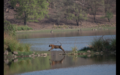 Tiger in Ranthambore 33.png
