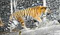 Tiger in captivity.jpg