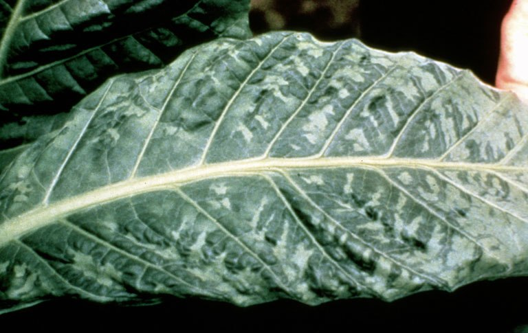 Tobacco mosaic virus symptoms tobacco