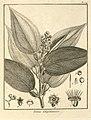 Tococa guianensis Aublet 1775 pl 174.jpg