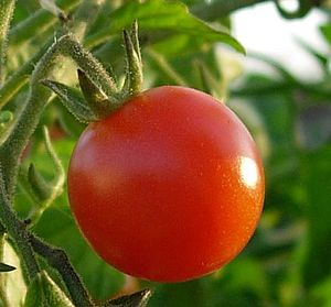 Tomato on its stem.jpg