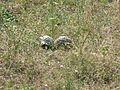 Tortoises in Krushevska Reka valley - P1100151.JPG