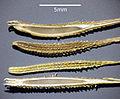 Tragopogon dubius sl1.jpg