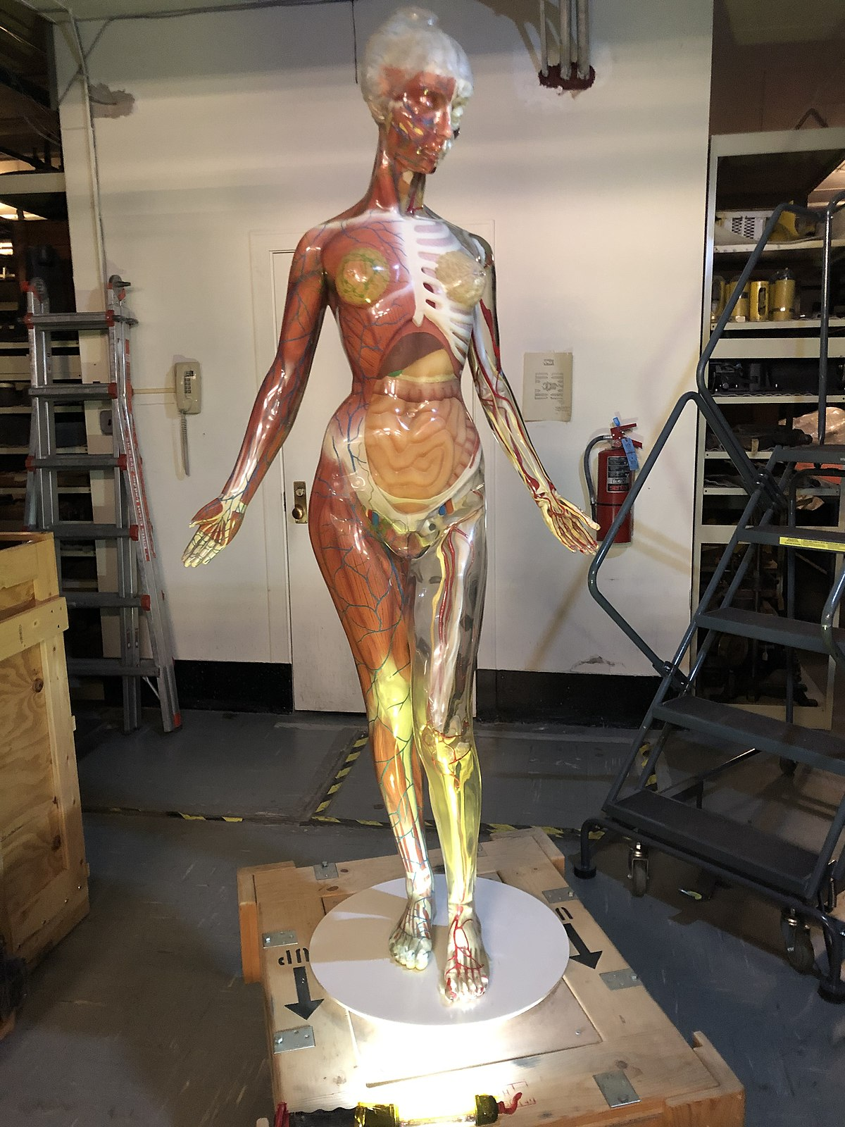 The Transparent Anatomical Manikin (TAM) is a three-dimensional, transparent anatomical model of a human being, created for medical instructional purp