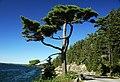 Tree at Somes Sound Fjord (Mt. Desert Island, Maine, USA) 1.jpg