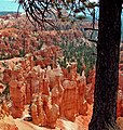 Tree on Rim, Bryce Canyon, UT 9-09 (16273301377).jpg