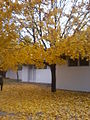 Tree with yellow leaves in autumn.jpg