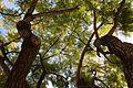 Trees above (32682650822).jpg