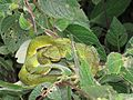 Trimeresurus macrolepis, large-scaled tree viper, large-scaled pitviper at Mannavan Shola, Anamudi Shola National Park, Kerala (10).jpg