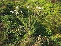 Tripleurospermum maritimum subsp inodorum plant9 (16190909418).jpg