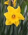 Trompetnarcis (Narcissus) 01.JPG