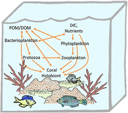Trophic connections of the coral holobiont in the planktonic food web Trophic connections of the coral holobiont in the planktonic food web.jpg
