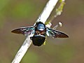 Tropical Carpenter Bee (Xylocopa latipes) (8067143790).jpg