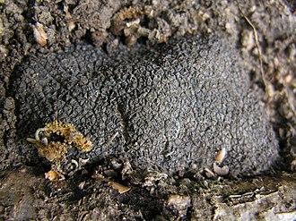 Tuber melanosporum - Fruiting body of Tuber melanosporum