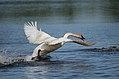 Trumpeter Swan (15868466375).jpg