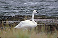 Trumpeter Swan on icy shore.jpg