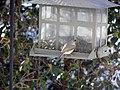 Tufted Titmouse On Bird Feeder (137902599).jpeg