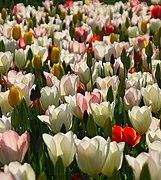 Tulips, University Parks, Oxford (geograph 3448021).jpg