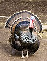 Turkey at The Magnetic Hill Zoo, Moncton, New Brunswick, Canada (38652949780).jpg
