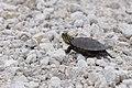 Turtle (35589876605).jpg