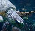 Turtle 1 (6222771365).jpg