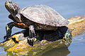 Turtle with Neck Stretched Out.jpg