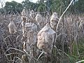 Typha orientalis flowerhead8 NT - Flickr - Macleay Grass Man.jpg