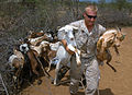 US Navy 060815-N-0411D-044 U.S. Marine Lance Cpl. Darrell Brandes of Goliad, Texas, carries two goats out of the corral to the nearby place where immunizations were taking place.jpg