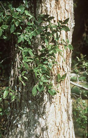 Ulmus crassifolia - Image: Ulmus crassifolia (USDA)