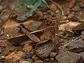 Unidentified Grasshopper (20439614294).jpg