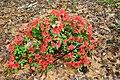 Unidentified Rhododendron.jpg