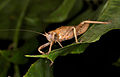 Unknown grasshopper (14340131837).jpg