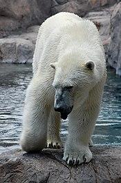 Ursus maritimus -Rio Grande Zoo, New Mexico, USA-8a.jpg