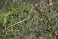 Utricularia bifida 2 in Imō Wetland 2011-08-24.jpg
