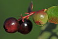 Vaccinium myrtillus - Bilberry - Maviyemiş 05.jpg