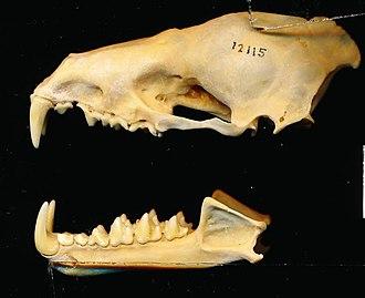 Spectral bat - Image: Vampyrum spectrum skull