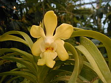 Vanda denisoniana