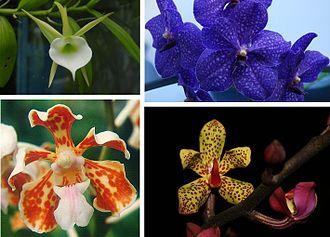 Vandeae - Various examples of Vandeae