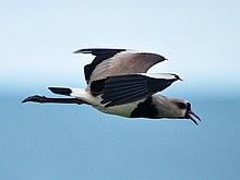Pássaro Quero-quero - Artigo 220px-Vanellus_chilensis_-Natal%2C_Rio_Grande_do_Norte%2C_Brazil_-flying-8