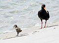 Variable Oystercatcher with chick (11741061274).jpg