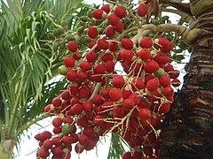 Resultado de imagen para fruto de las palmeras