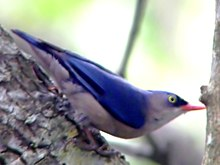 Velvet-fronted Nuthatch (Sitta frontalis)2.jpg