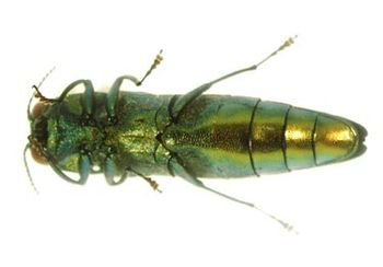 Ventral view of Emerald Ash Borer adult.
