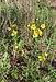 Verbascum sinuatum, Sète 01.jpg