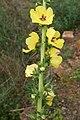 Verbascum virgatum flowerhead2 (16192634189).jpg