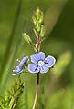 Veronica chamaedrys LC0136.jpg